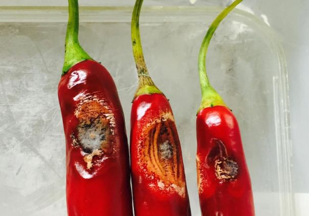 chile peppers anthracnose